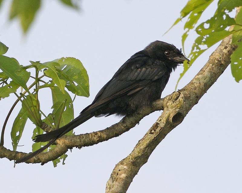 Kaziranga National Park Black Drongo