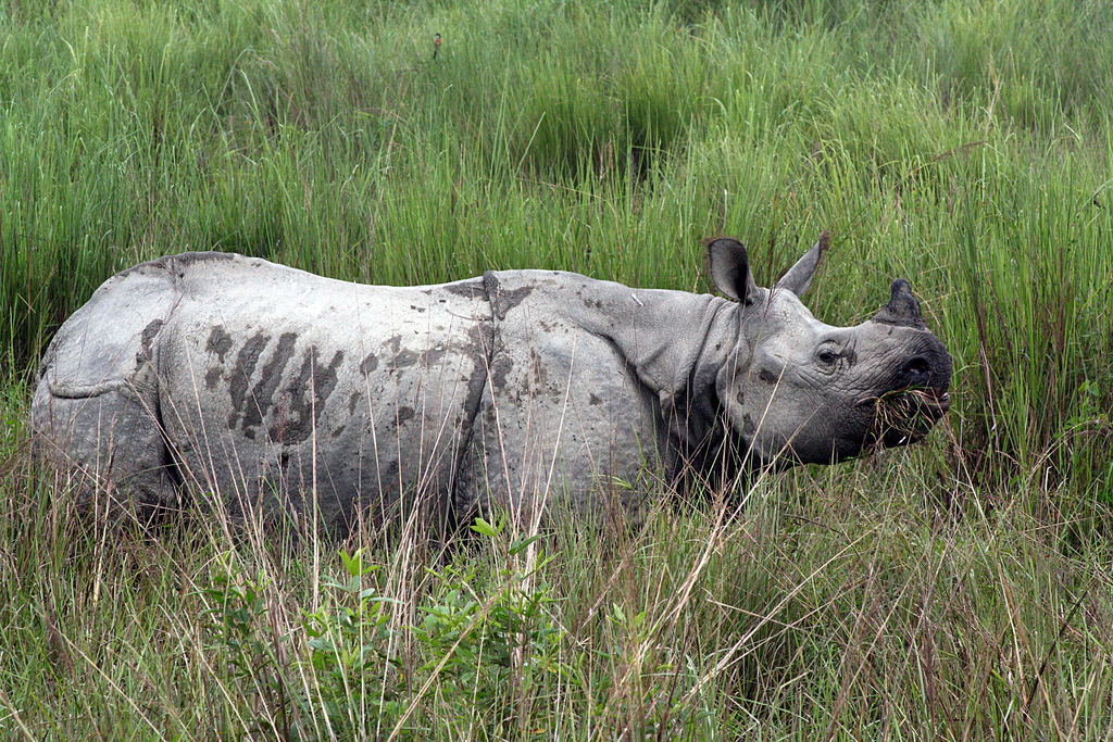 Kaziranga National Park Rhino