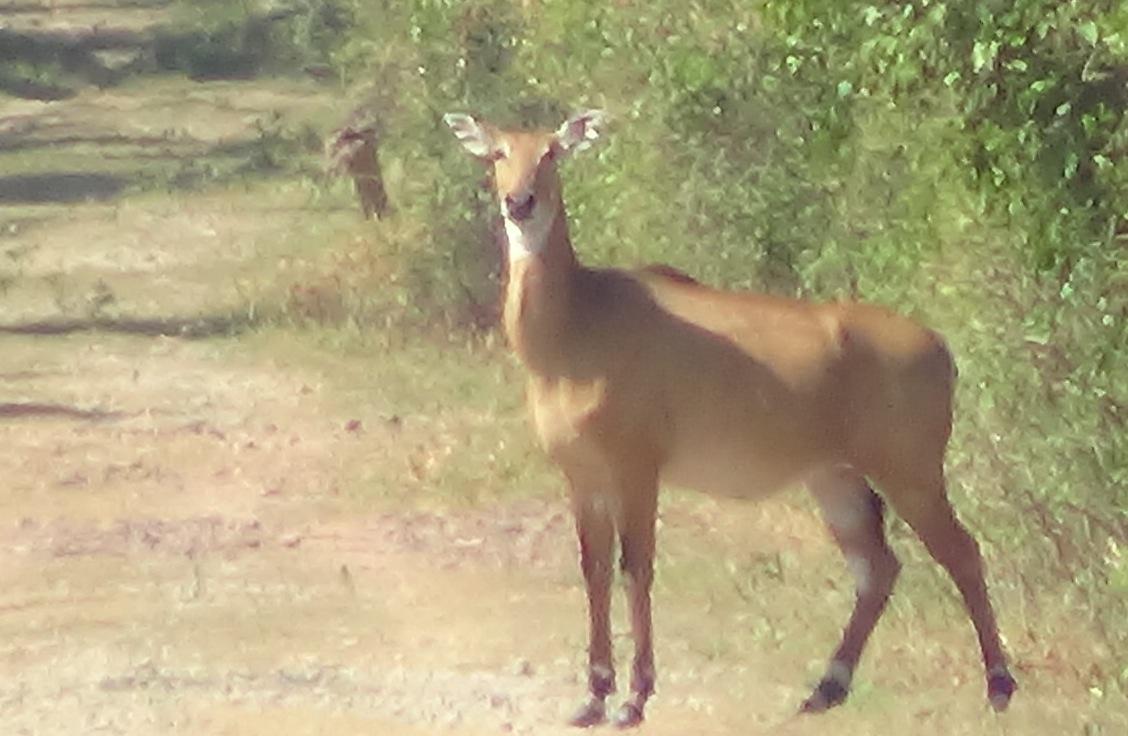 Keoladeo National Park Deer
