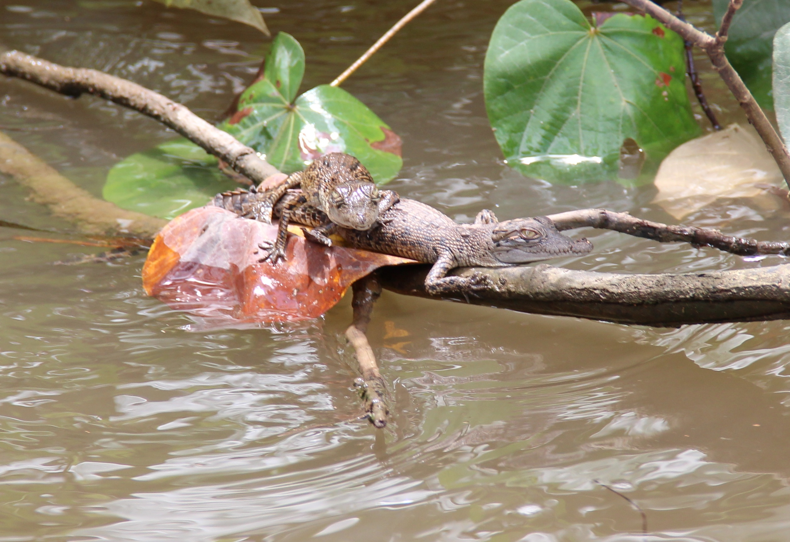Baby Crocodiles in the Daintree River, Queensland