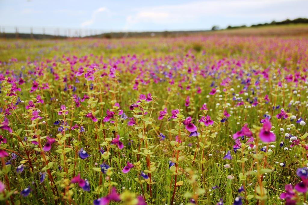 Blooming Kaas