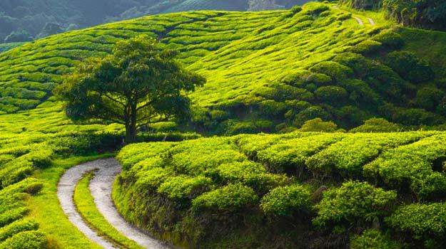 https://www.google.co.in/url?sa=i&rct=j&q=&esrc=s&source=imgres&cd=&cad=rja&uact=8&ved=0ahUKEwjluYTF35HOAhVGRI8KHYYhAkcQjB0IBg&url=http%3A%2F%2Ftravel.india.com%2Farticles%2F5-best-tea-plantations-in-india%2F&psig=AFQjCNGEUC19PakRYwcutp6ZdXrY_F0-9A&ust=1469643694014878