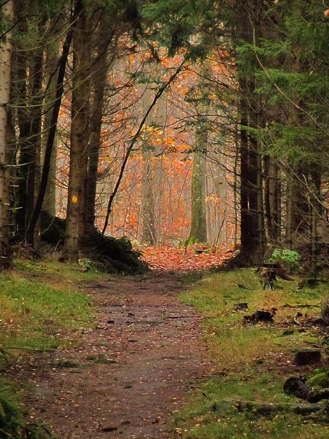 Beech Autumn colour and dark Pine trees, near Brededam lake, Store Dyrehave