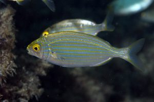Let's Drop Some Porgy – Rome's Hallucinogenic Sea-Critter