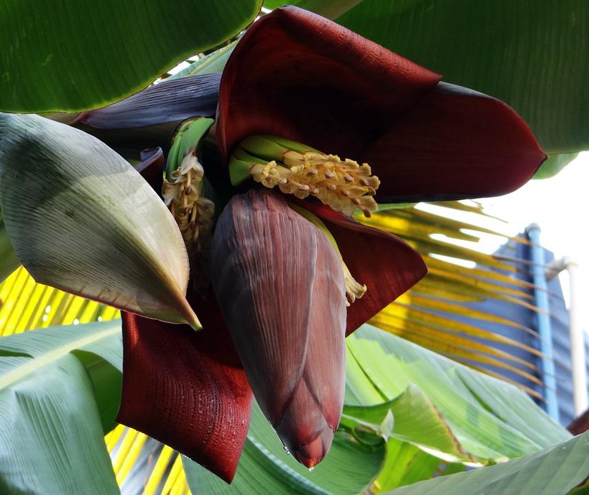 A Banana blossom Picture Courtesy: https://pixabay.com/en/banana-blossom-banana-tree-banana-321127/
