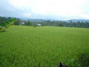 Nueva Ecija: The rice granary of the Philippines