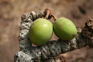 Shea Nut: Community and Economy in Africa